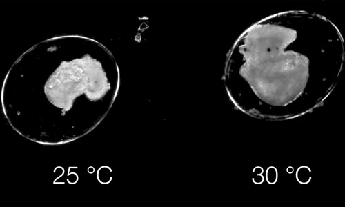 EmbryoPhenomics reacting to different temperatures